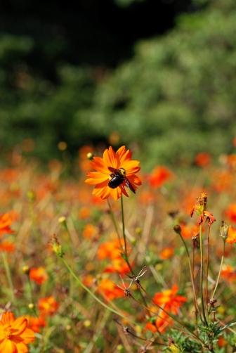 2010浜離宮・キバナと丸いハチ