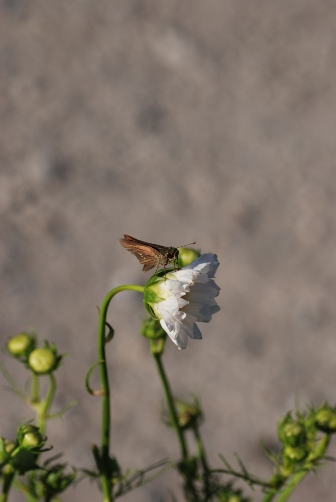 2010浜離宮・白いコスモスとチョウ