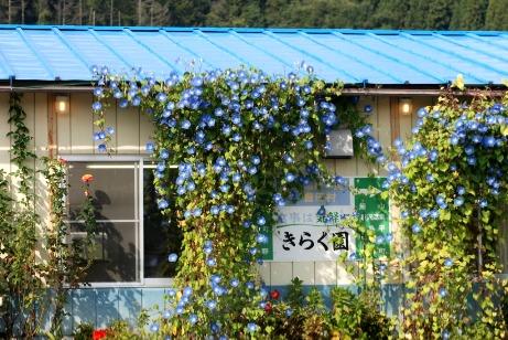 201010きらく園の朝顔