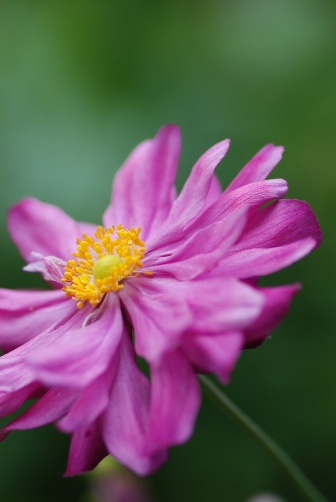 2010ピンクの秋明菊