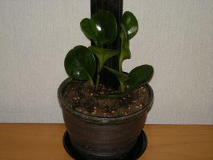 新しい観葉植物