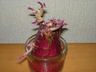さつま芋の芽