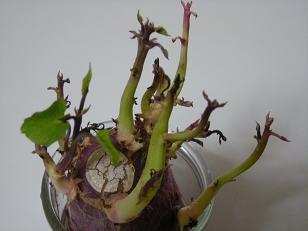 さつま芋の葉
