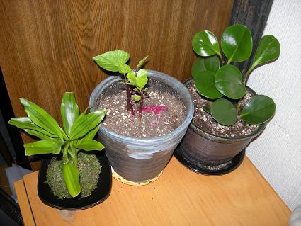 観葉植物とさつま芋鉢植え