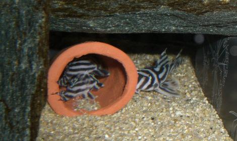 インペリアルゼブラプレコ繁殖