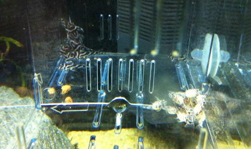 インペ稚魚