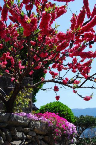 芝桜まつり4