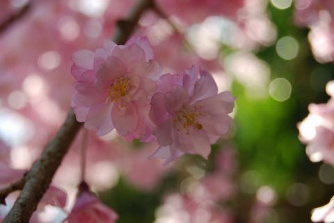 高開春の花8