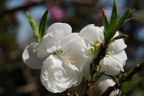 高開春の花9