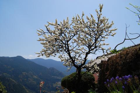 高開春の花13