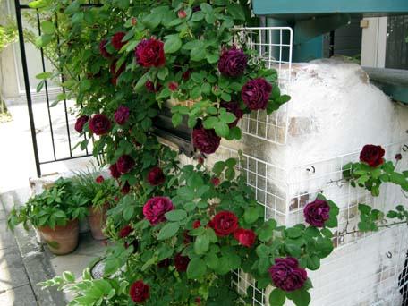 今のバラ1