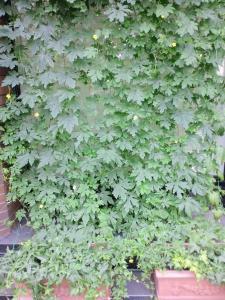 201108グリーンカーテン