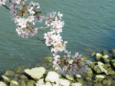 201104 川に桜