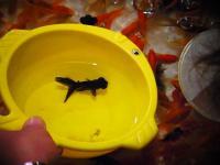 2011 夏 金魚すくい