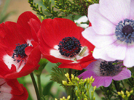 anemone-1202-470.jpg