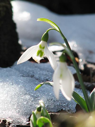 snowdrop-1201-400.jpg