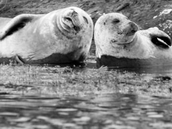 Irish harbour seals