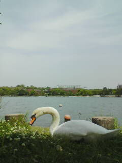 アヒル(大濠公園)