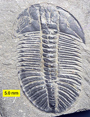 180px-Cambrian_Trilobite_Olenoides_Mt__Stephen.jpg