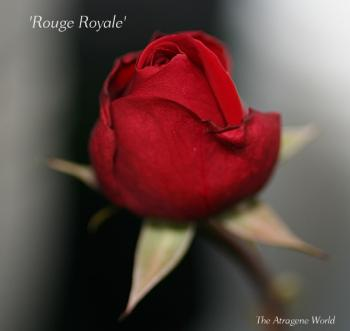 Rouge Royale2511200901