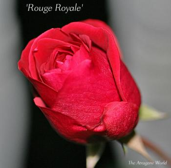 Rouge Royale2711200901