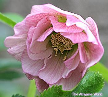 hellebo pink piko d10001~2