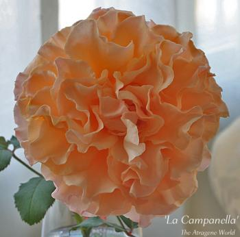 Lacampanella0311200902.jpg