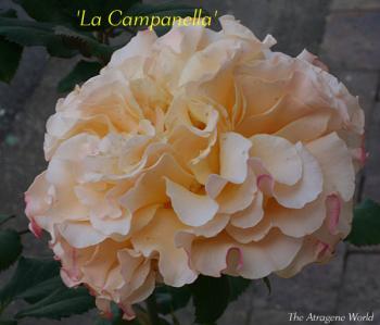Lacompanella2010200901.jpg