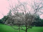 野川公園桜