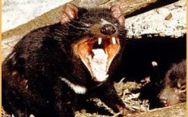 tasmanian_devil2__240x150.jpg