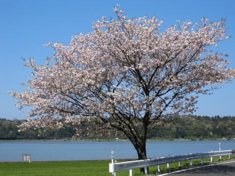北潟湖の山桜