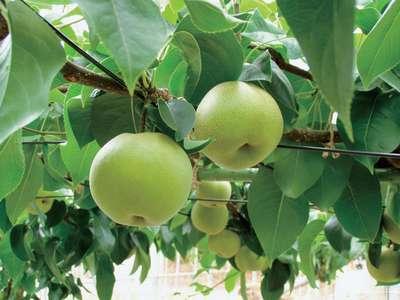 芦原で梨狩り
