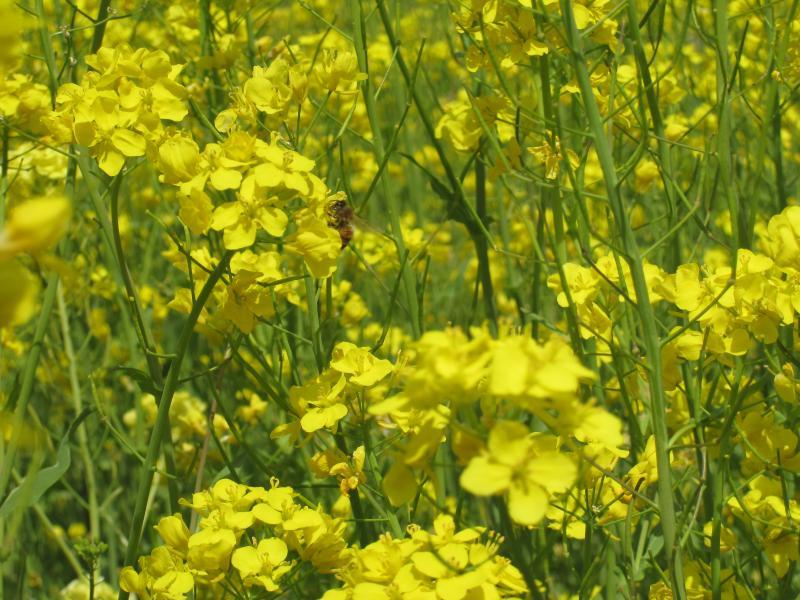 菜の花のミツバチ