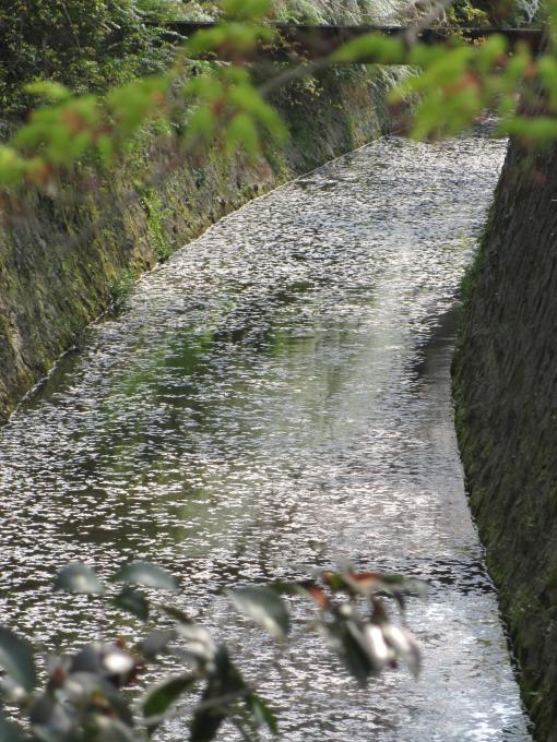 川面の桜2