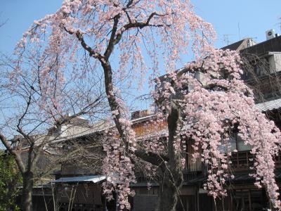 白川沿いの枝垂れ桜