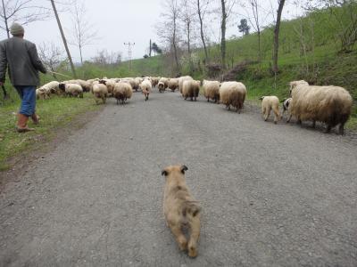 2011_0425_羊と犬