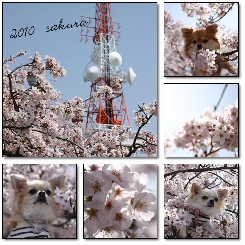 2010 sakura