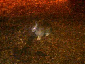 rabbit 120511