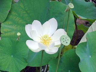 放光寺蓮の花2