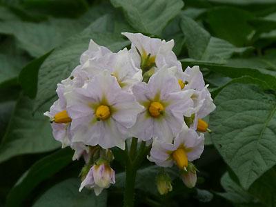 ジャガイモの花.