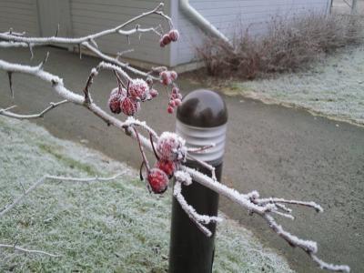 ニッポンの木も氷ります