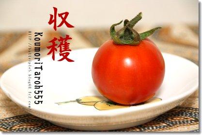 収穫トマト♪