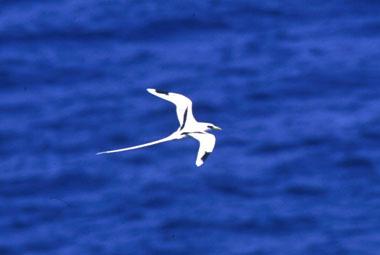 白尾熱帯鳥
