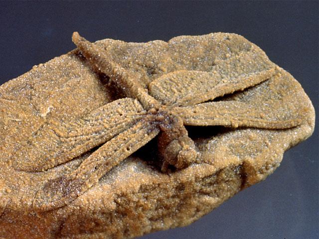 方解石化したトンボ