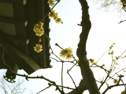 長谷寺の蝋梅