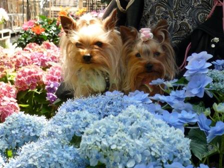 紫陽花とわんこ
