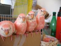 9月9日ピンク