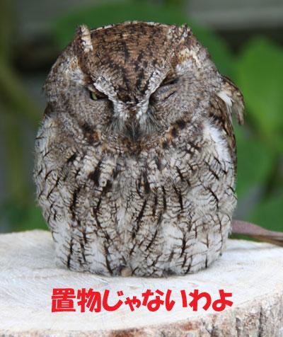 フクロウ1
