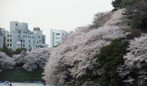 11 4 10sakura (2)