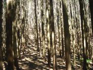 迷路の様な杉林